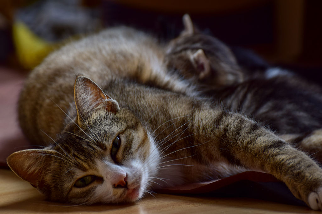 How To Tell If Your Cat Is In Labor Guildcrest Cat Hospital