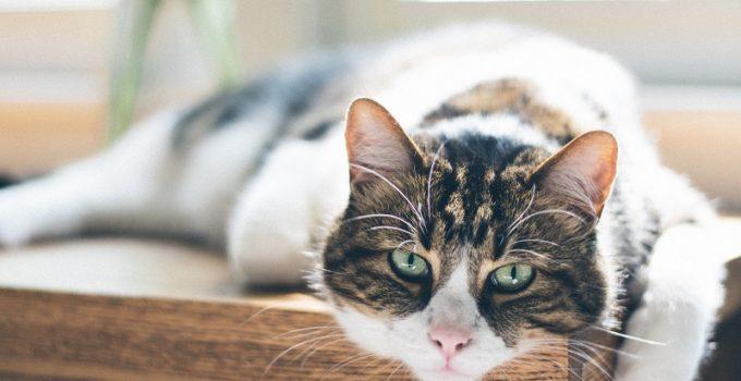 Senior Cat Wellness